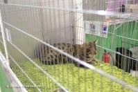 Super Cat Show 2012 (30)